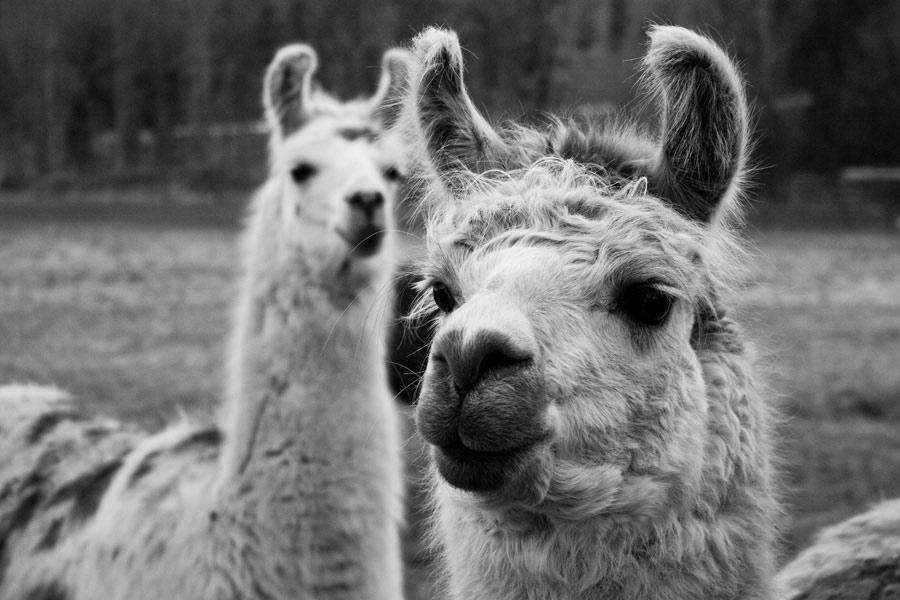coldstream_llamas