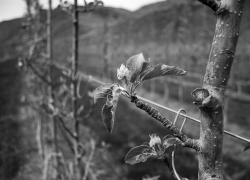 apple-bloom
