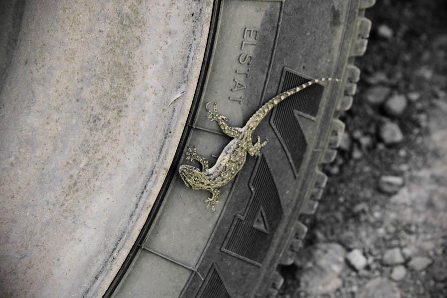 rubber-gecko