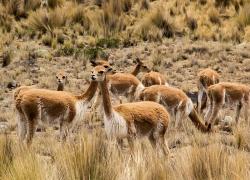Vicuna Herd